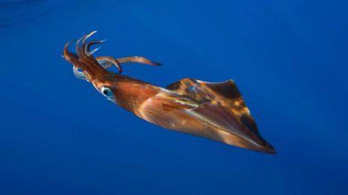 giant-squid-swimming.jpg.adapt.945.1